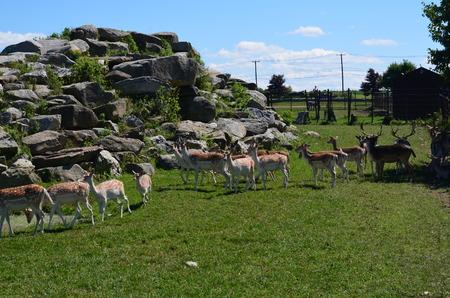 A small herd of Fallow deer