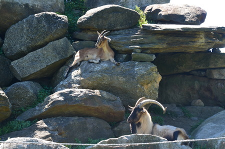 Goats resting on the rocks