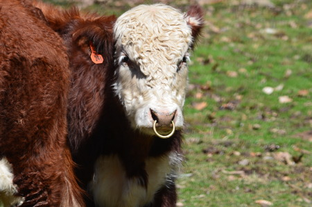 bull ring: A Hereford bull with a ring in his nose