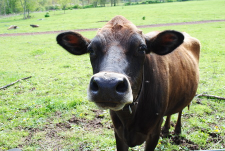 jersey cattle: Jersey cow in a pasture