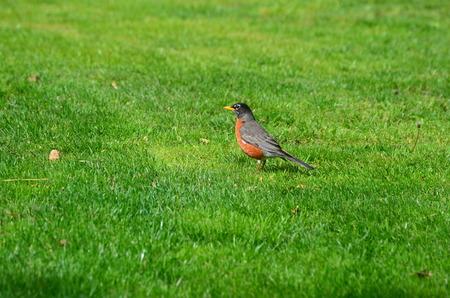 greem: Robin in the grass