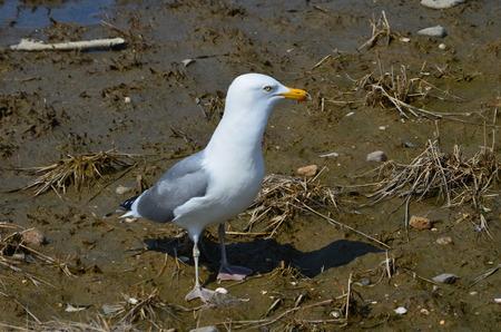 Seagull Reklamní fotografie