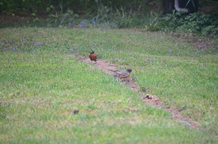 robins: Robins on the lawn