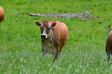 jersey cattle: Jersey cows in a pasture