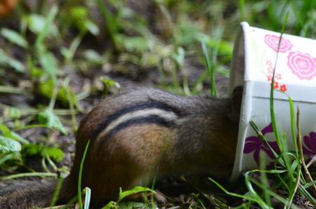 ardilla: Chipmunk en una taza Foto de archivo