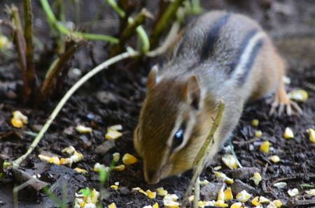 Chipmunk eating corn