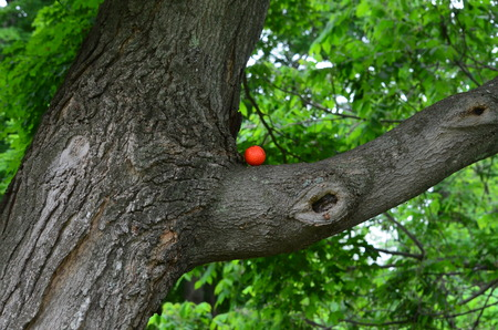 limb: Golf ball on a tree limb