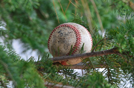 limb: Baseball on a pine tree limb Stock Photo