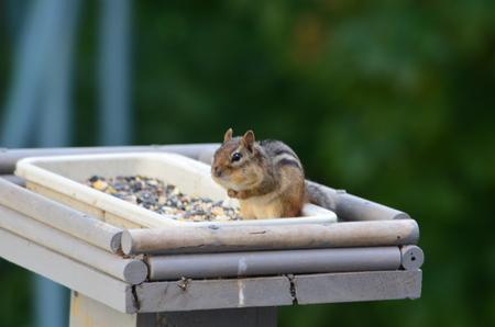 ardilla: Chipmunk en un alimentador