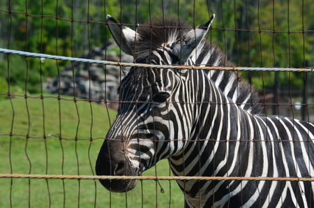 fenced in: Zebra in a fenced in area