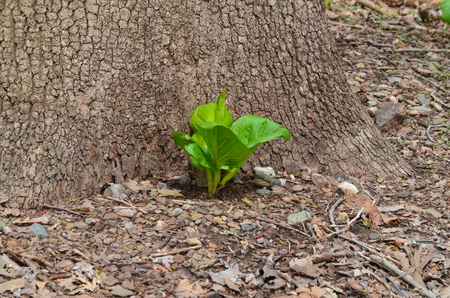 Skunk cabbage grow near base of  a tree