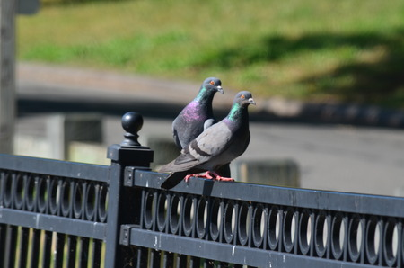 pigeons: Pigeons on a fence