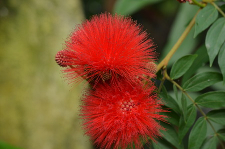 cairns: Red cairns flower