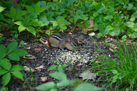 Chipmunk eating corn in the weeds