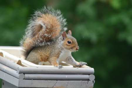 Squirrel in a feeder Stock Photo