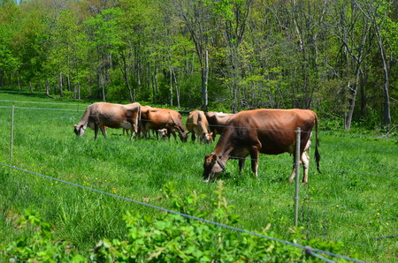 Jersey cows grazing in a pasture Stock Photo