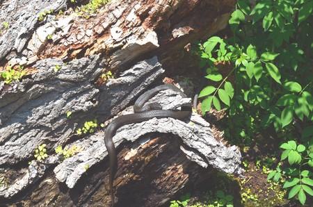 Snake on a log