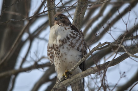 Hawk perched in a tree Stock Photo
