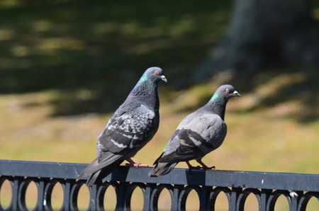 Two pigeons perched on an iron fence