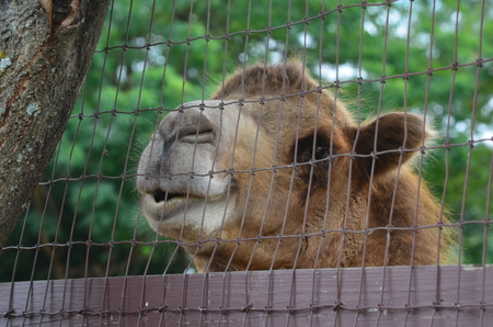 A smiling Camel looking over a fence