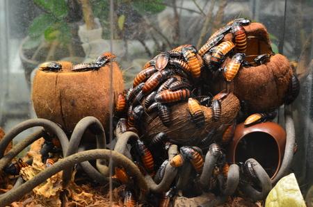 Cockroaches feeding on scraps