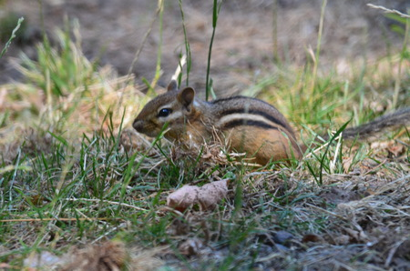 A Chipmunk looking for food