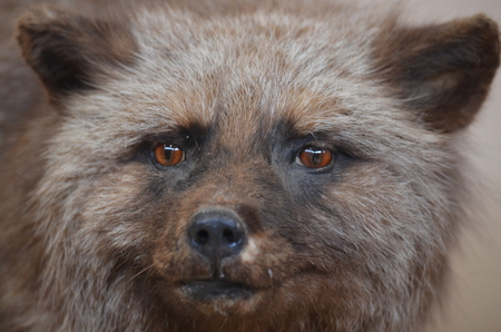 A closeup of a Silver Fox head Stock Photo