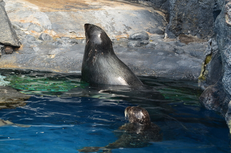 A Seal swimming in an enclosed area