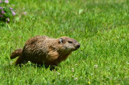 A brown Woodchuck running in the grass