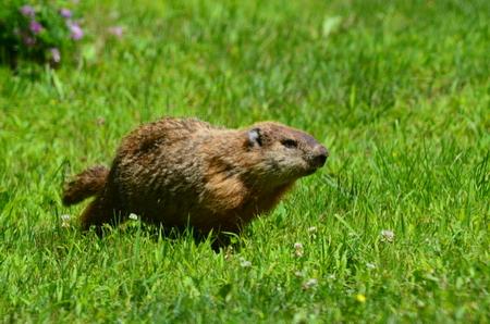 A Woodchuck running in the green grass