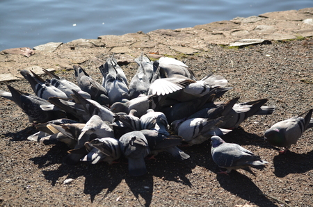 A flock of hungry pigeons