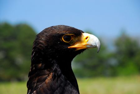 Close-up picture of an eagle photo