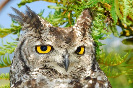 Picture of an owl sitting in a tree photo