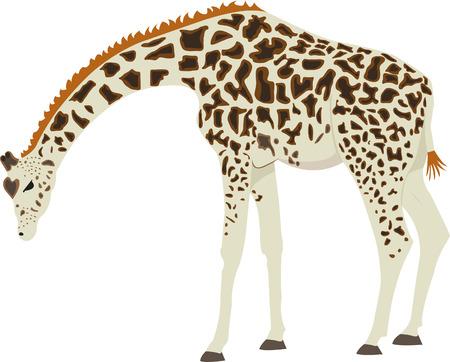 Giraffe staande op zijn voeten met zijn hoofd naar beneden