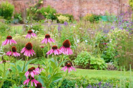 Echinacea growing in cottage garden