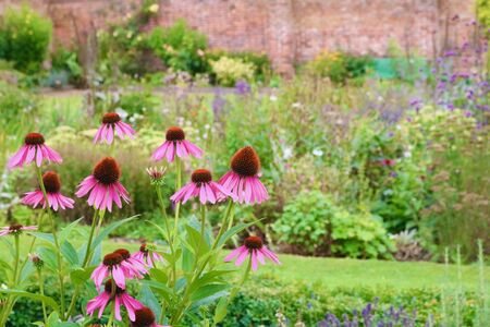 Echinacea flowers in English country garden with wall in background