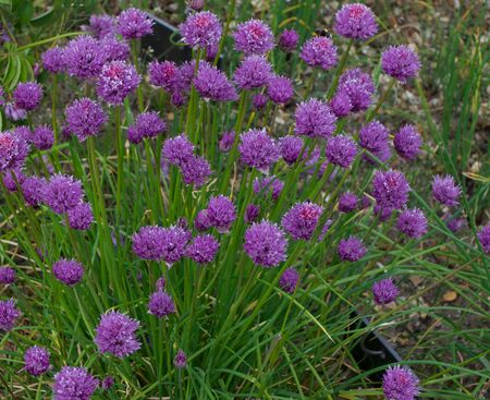 Herbal image showing chives plant in flower with pinky purple blooms