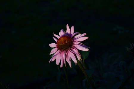 Single pink echinacea flower against dark background with copy space