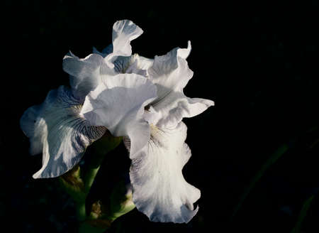 White bearded iris against dark background funereal sad image with copy space