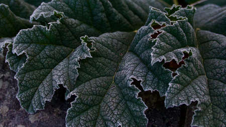 Early morning frosty foliage showing lush gunnera manicata leaves