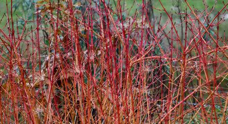 Red cornus alba showing vivid stems with no foliage in winter