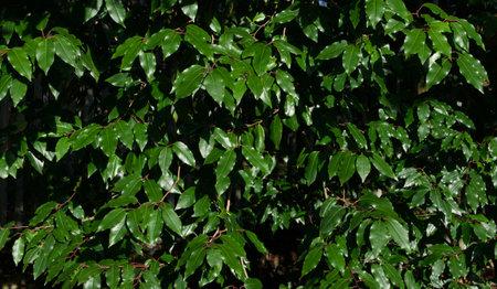 Full frame dark green evergreen bay foliage on sunny winters day
