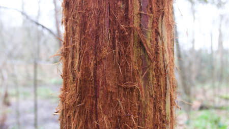 Section of trunk of young dark heavily textured redwood tree in forest Stock Photo