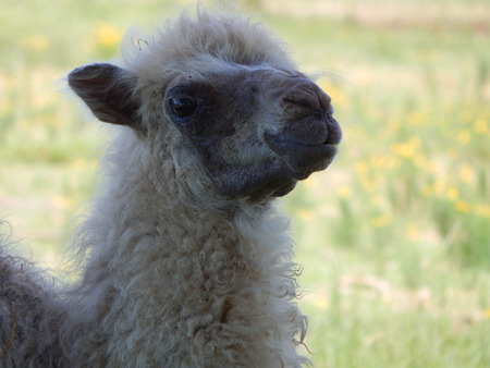 Furry Baby Llama
