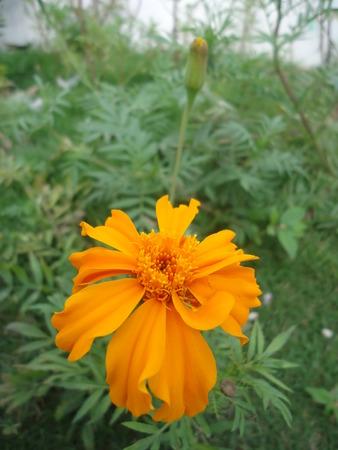 yellow flower of cempasuchil. mexican flower