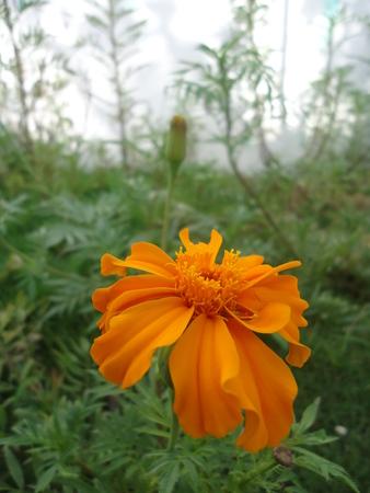 BEUTIFUL FLOWER OF CEMPASUCHIL