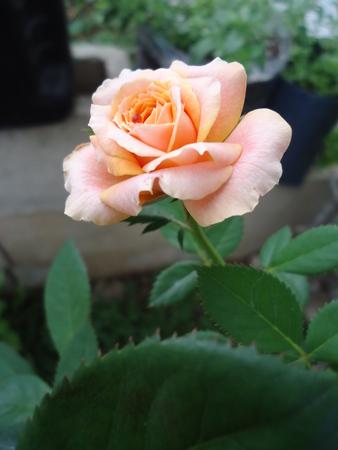 Rose close up Imagens