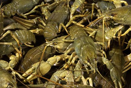 Many live river cancers on kitchen Stock Photo - 5763360