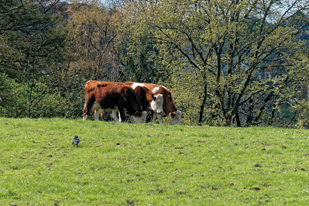 milk production: Brown and white cows living on an organic farm