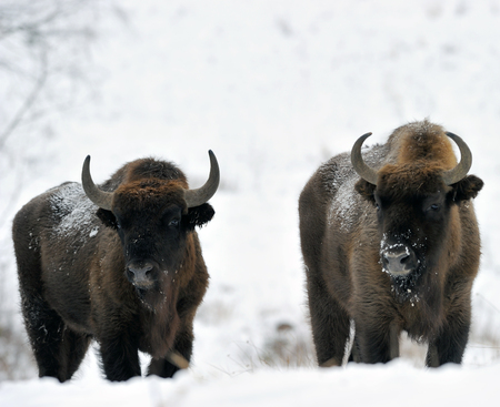 heavy snow: Bisons, winter day in the snow Stock Photo